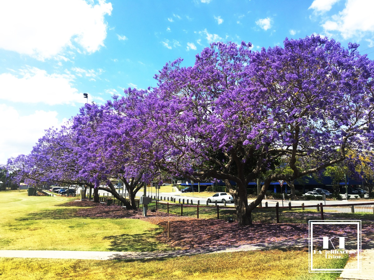 Purple is in the air – Jacaranda Festival in Brisbane