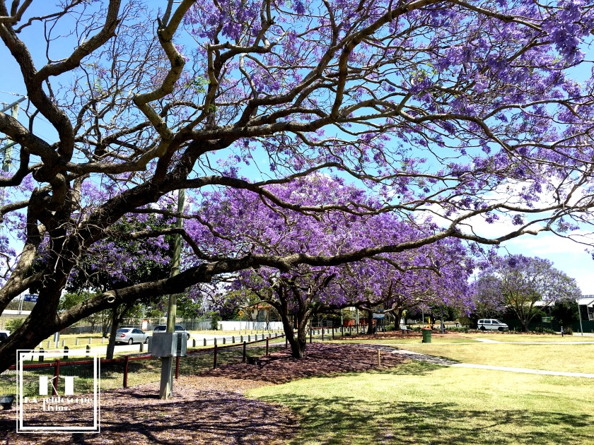 Bucket List Must Go Australia Brisbane Ipswich Goodna Jacaranda Festival Purple 04
