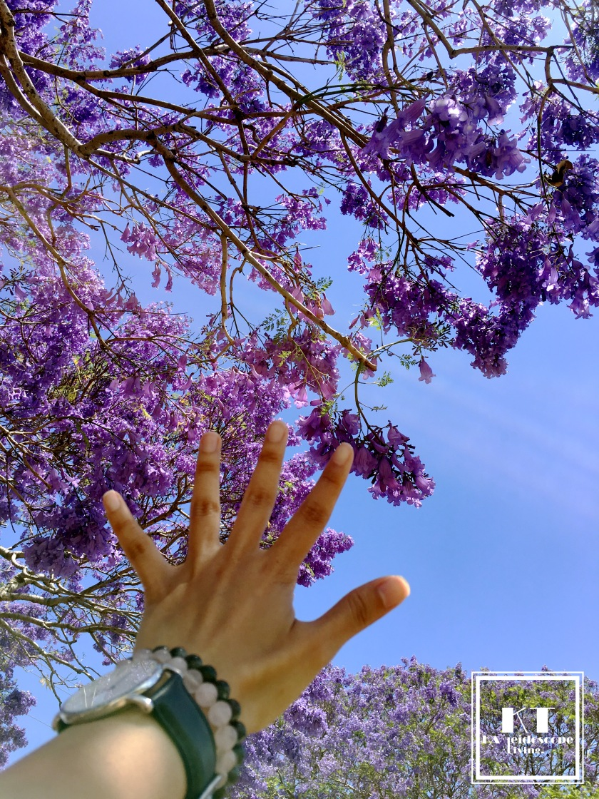 Bucket List Must Go Australia Brisbane Ipswich Goodna Jacaranda Festival Purple 06