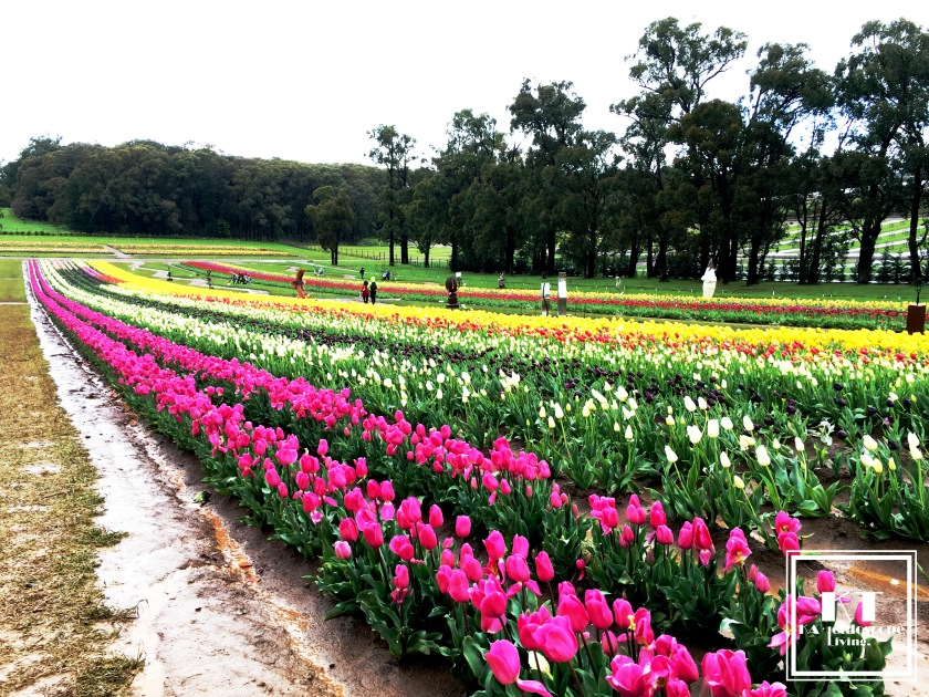 Bucket List Must Do Melbourne Tesselaar Tulip Festival 10