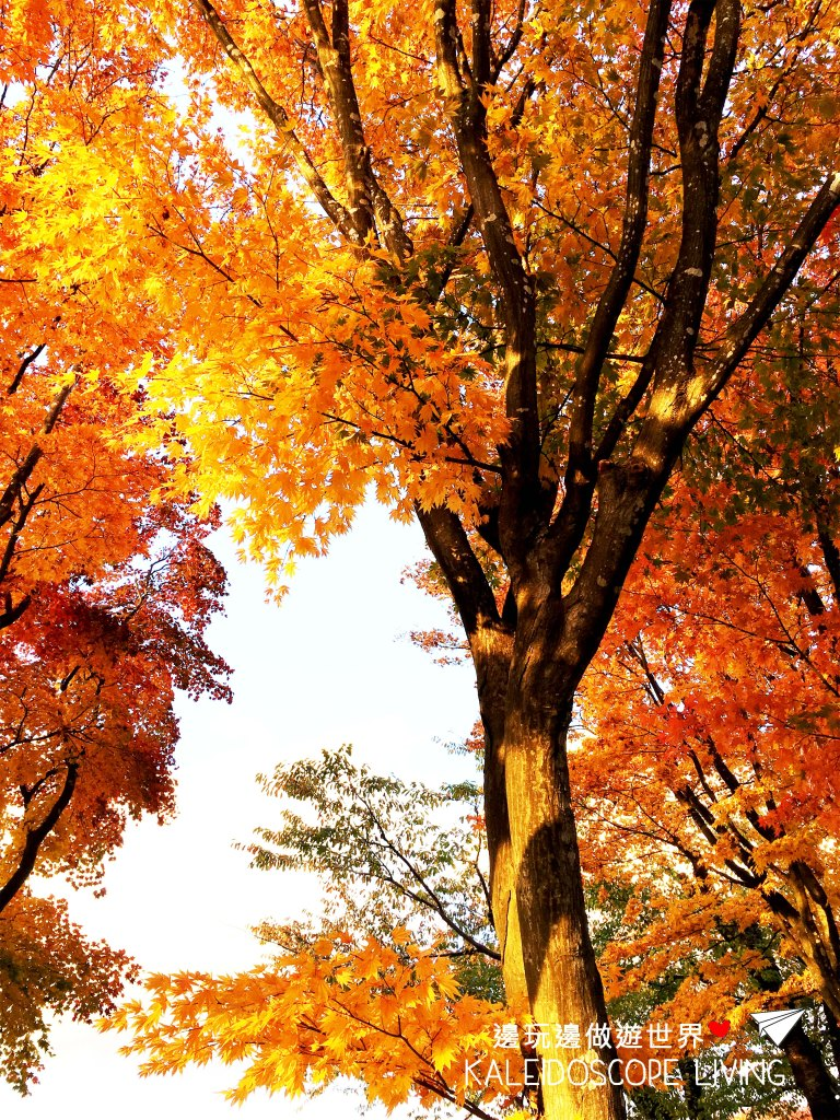 Travel_Japan_Hakkaido_Hakodate_Goryokaku_Park_Autumn_Maple_Red_Leaves_秋天_紅葉_日本_北海道_旅遊_五稜郭