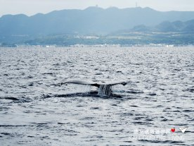 Travel_Must_Do_Japan_Okinawa_Winter_Onna_Whale_Watching_ホエールウォッチング恩納沖縄