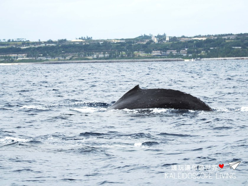 Travel_Must_Do_Japan_Okinawa_Winter_Onna_Whale_Watching_ホエールウォッチング恩納沖縄