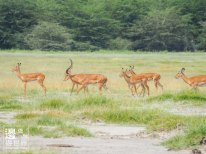 Must Travel Kenya Safari Holiday in Amboseli National Park with Mount Kilimanjaro Masai Gazelle