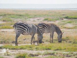 Must Travel Kenya Safari Holiday in Amboseli National Park with Mount Kilimanjaro Masai Zebras
