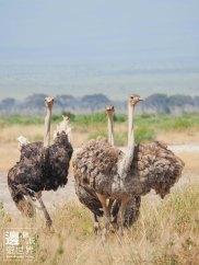 Must Travel Kenya Safari Holiday in Amboseli National Park with Mount Kilimanjaro Masai Ostrich