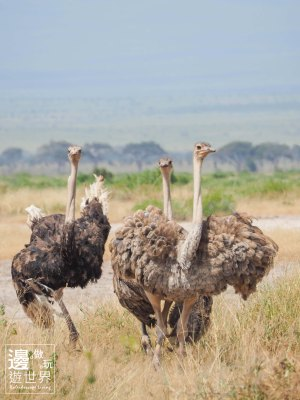 Must Travel Kenya Safari Holiday in Amboseli National Park with Mount Kilimanjaro Masai Ostrich
