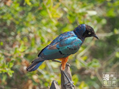Must Travel Kenya Safari Holiday in Amboseli National Park with Mount Kilimanjaro Masai Blue Roller Throater
