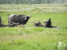 Must Travel Kenya Safari Holiday in Amboseli National Park with Mount Kilimanjaro Masai Buffalo